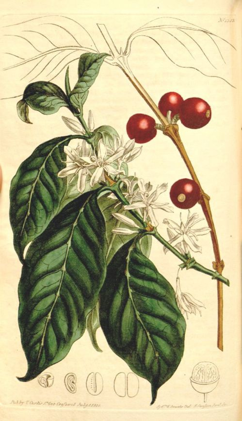 The image shows elliptic leaves, white flowers and the reddish berries.  Curtis's Botanical Magazine t.1303, 1810.