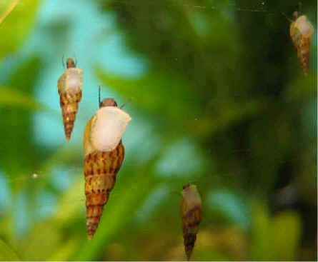 Malaysian Trumpet Snails. Good for eating dead plant and fish matter as well as aerating the substrate. Must be kept in check. Rapidly reproduce. Assassin snails are good for keeping population down.