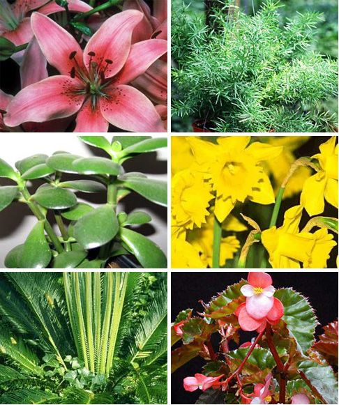 Common house plants that are toxic to pets.    • Aloe Vera   • Asian Lily  • Asparagus Fern  • Begonia  • Baby's Breath   • Calla Lily  • Corn Plant  • Cycads (Sago Palm, Fern Palm  • Geranium  • Jade Plant  • Pencil Cactus  • Ribbon Plant (Corn Plant, Cornstalk Plant, Dracaena, Dragon Tree)   • Tulip  For a full listing of toxic plants for pets, please see ASPCA's searchable database.