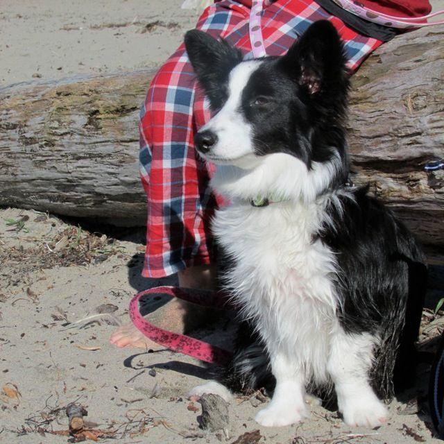 Female pup - Home of the Borgi Puppy