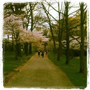 Number 16: High Park Cherry Blossoms