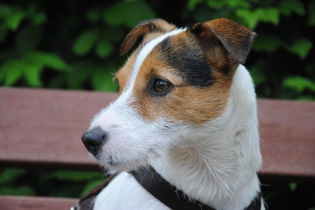 Dog Breeds – Various Types of Terriers