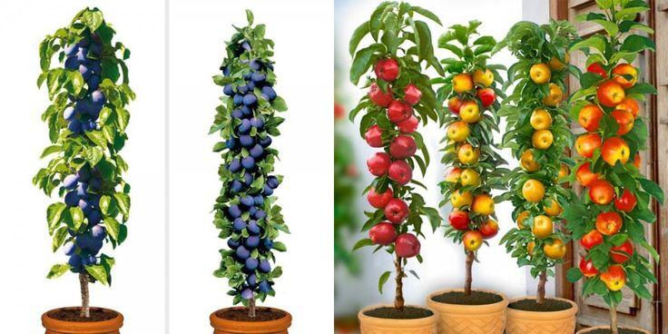 Pomi fructiferi columnari – mini-livada din balcon