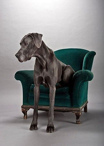 This Great Dane belongs in my future life, and his name shall be Hamlet!