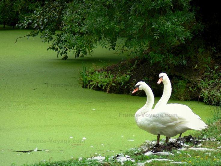 Venezia verde del Marais poitevin: Wet palude: coppia di cigni vicino a una conchiglia ricoperta di lenticchia d'acqua - France-Voyage.com