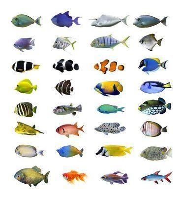 Naklejka na Ścianę Wielki zbiór tropikalnych ryb na białym tle