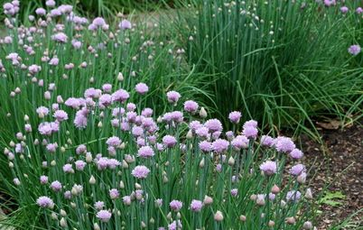 Sigh, I just had to throw out my beautiful and (previously) thriving chives and garlic chives due to a massive aphid infestation. I should have nipped it in the bud earlier, but was flat out with work & study, and kept thinking 'I'll do it later'. Anyway, by the time 'later' arrived, the chives ...