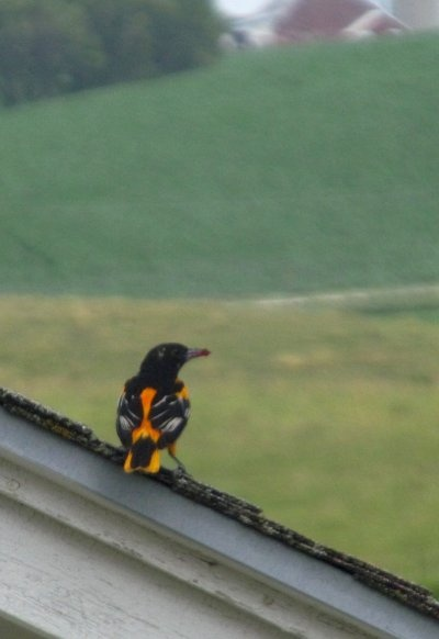 78 images about orioles magic on pinterest your brain team