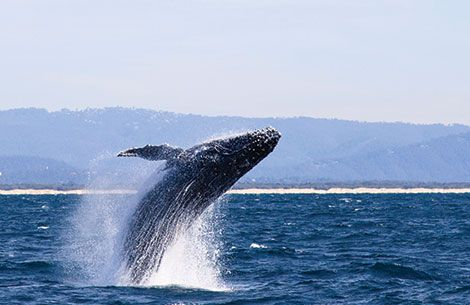 Whale Watching Tour - Every season the Southern Right whales honours us with their presence as they come to breed and calve here in the Cape. This majestic event typically runs between June and November and can be best seen along the famous Whale Route.