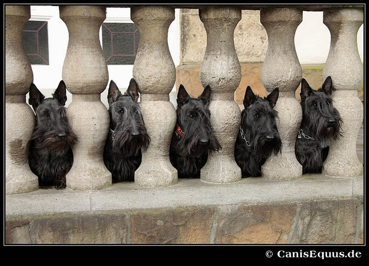 Gorgeous Scotties in a row!
