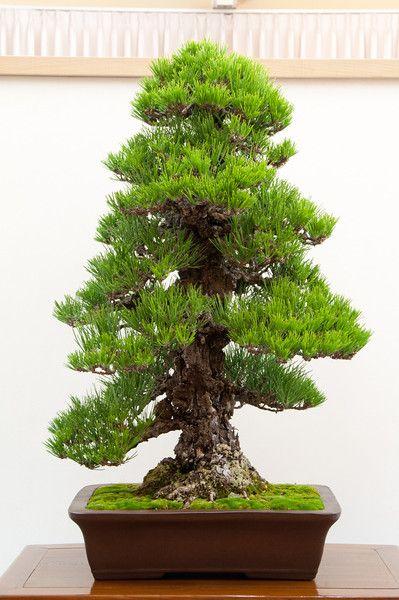 RK:黒松:Cork bark black pine