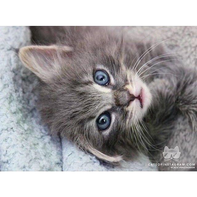 Russian Blue Cat Heart Problems