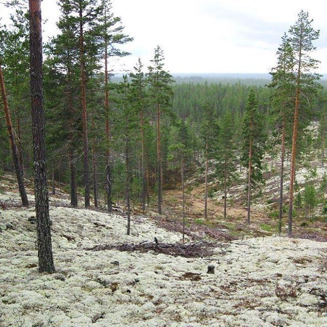 We ❤️ Rokua ! #rokua #visitrokua #geopark #lichen #pine #forest #summer #nationalpark #unesco #visitfinland #ourfinland #finnishnature #luontoonfi #yleluonto #forrestbath #thisisfinland #silence #freshair #trekking #familyholidayplace #finland #visitoulu Near by #oulu #trekkingday