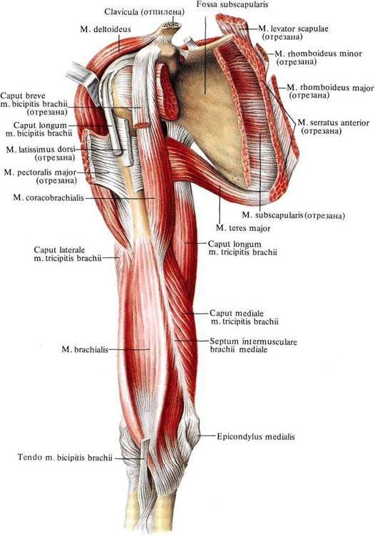brachialis exercise - photo #45