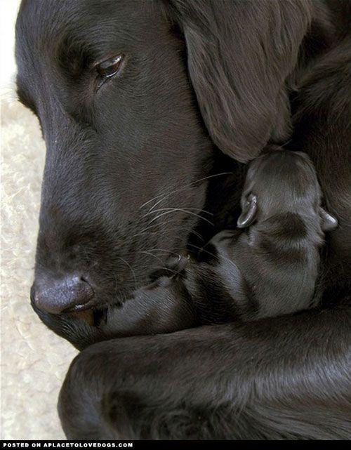 Labrador Retriever cuddling her baby. So sweet!