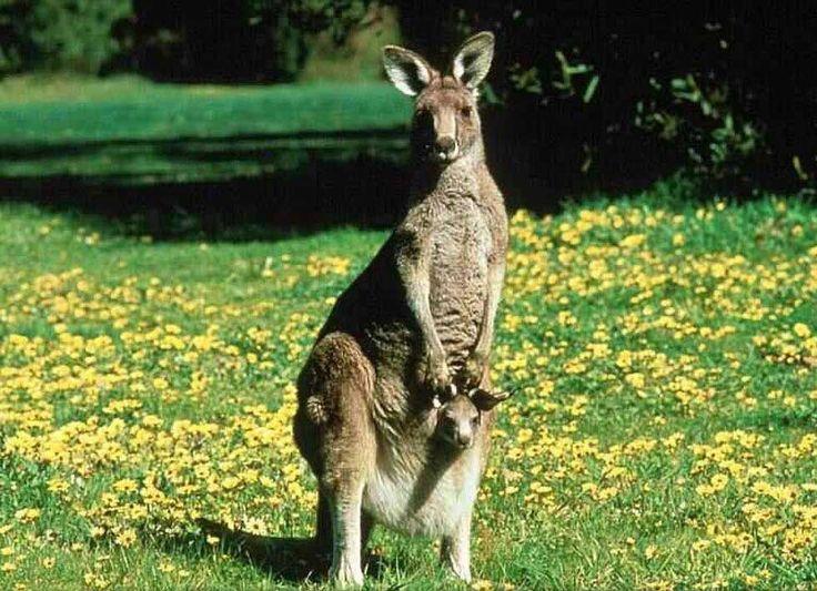 images of kangaroos | English 1226