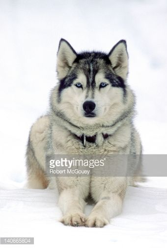 Stock Photo : A Siberian Husky laying in the snow looking alert and waiting