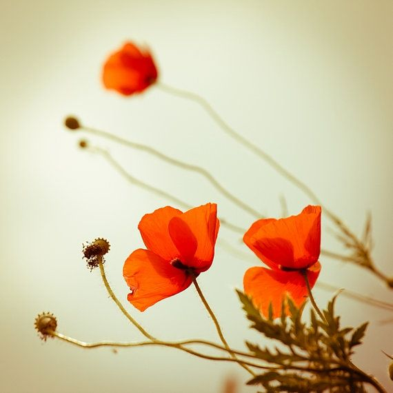 Summer Photography, Poppies Photo Print, Dreamy Photograph, Flower Photography Bright Red, Canvas or Photo Paper 4x4