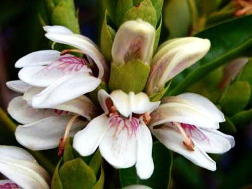 Medicinal Uses of Malabar Nut