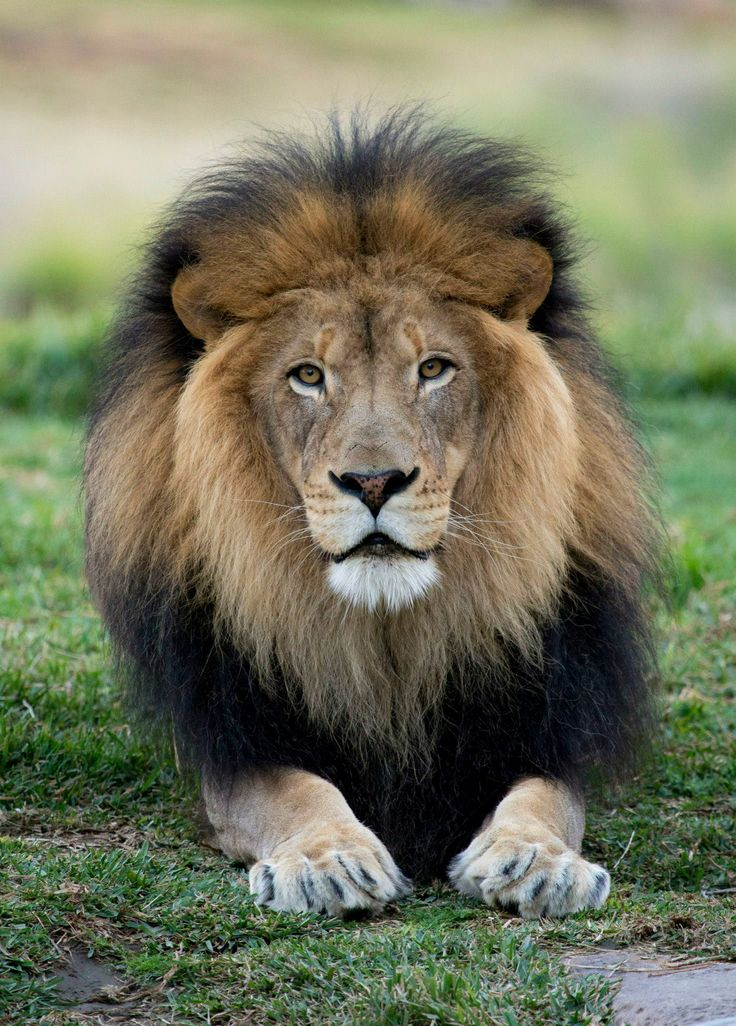 Beautiful Male Lion At The San Diego Zoo Safari Park By