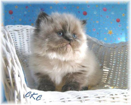 A Teacup Persian Cat