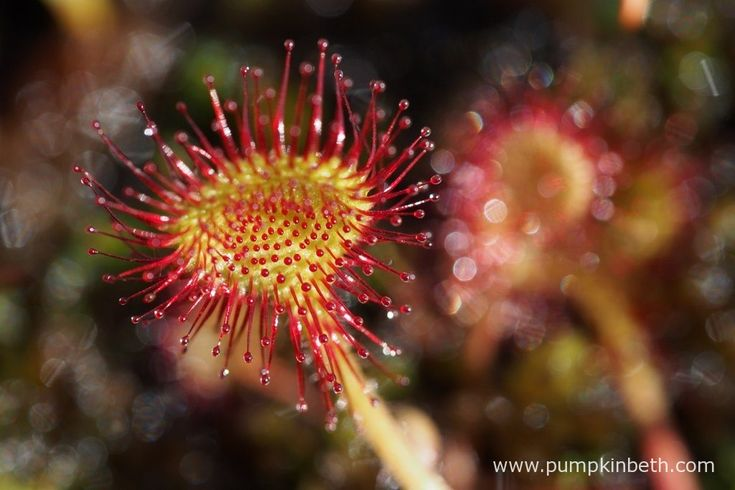 A closer look at Drosera rotundifolia, also known as the round-leaved sundew, pictured at Thursley Common National Nature Reserve in June.