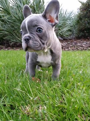 Light BLUE male french bulldog for sale! He is utd on shots, comes with chip, health guarantee, and FULL AKC rights! Puppy in Daytona Beach, Fl. More Info in PM https://www.facebook.com/pasha.king.58?hc_location=stream