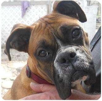 Boxer Rescue !! Maddie's new friend???