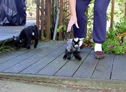 I could buy a pygmy goat!!!