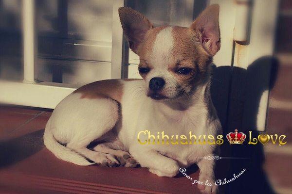 Chihuahuas Love - Venta de Chihuahuas en Facebook. Chihuahuas en Redes Sociales.