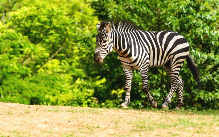 Lataa kuva Seepra, wildlife, Afrikka, metsä