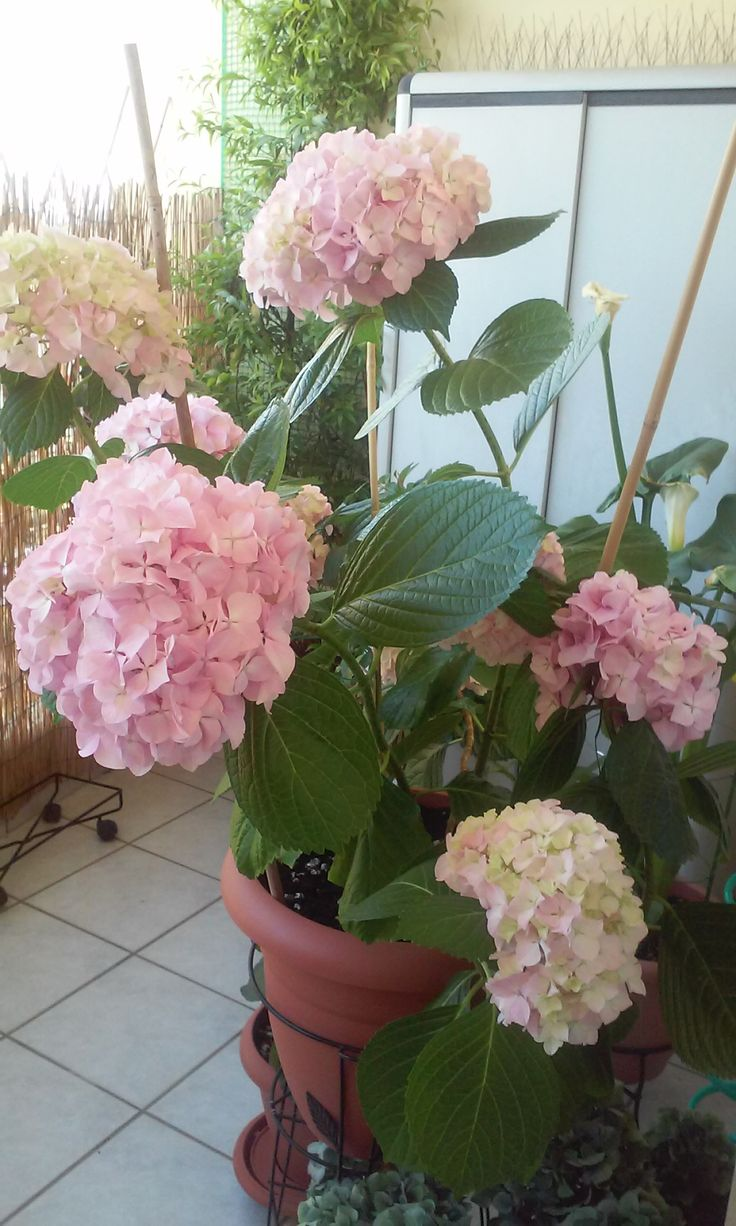 Hydrangea pink! (9/6/2015)