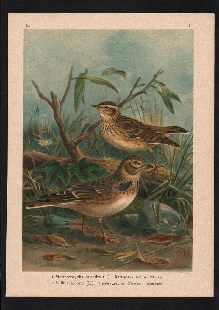 1880 - Heidelerche Lerche lark Vogel Vögel bird birds Farblithographie Naumann | eBay