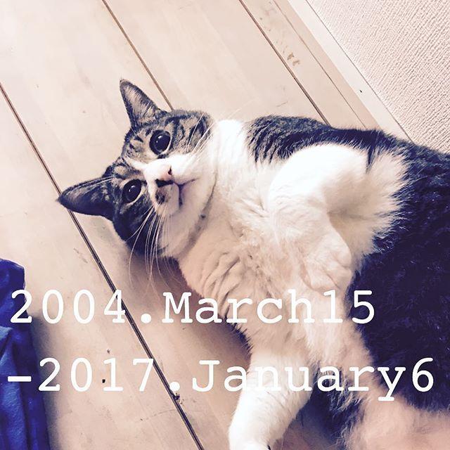 1月6日(金) 深夜 ・・・ 突然の報告ですが 大好きな大好きな、大切なひまわりが本日未明 3月の誕生日を目前にして、亡くなりました。 相模原から大田区へ戻って来たのは、生まれ育った 大田区の霊園で火葬してあげたかったから。 大田区で母猫から育児放棄されている5匹兄妹の内の 2匹を里親募集サイトを通じて引き取り、ひまわりと 蓮と名付けて兄弟で飼っていました。 蓮ちゃんはもう、ソラが保育園の頃に脱走がきっかけで帰って来ず、ひまわりだけを育てていました。 ・ 会社にも話してお休みをいただき、先程ペット霊園へ行って来まして、もう少ししたらお骨を引き取りに。 本当に突然過ぎて、抱きながら旦那氏に電話をしたら 始発で来てくれて、2人で運びました。 動物病院の先生曰く、心臓が弱かったかもと。 心筋症かも知れないと。 しかしそうであったとしても薬投与で抑えるしか 無かったかも知れないと言われました。 心臓発作の様なものだと思います。 ・ 昨夜帰宅した時はいつも通りで。 定位置のダンボール箱の上でいつも通り丸まっている最中に突然唸り声を上げ、びっくりして撫でながら…