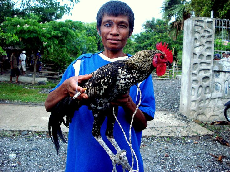 """Got Big Cock?  The Champion Cock Fighter. The competition could not """"keep up"""" with him."""