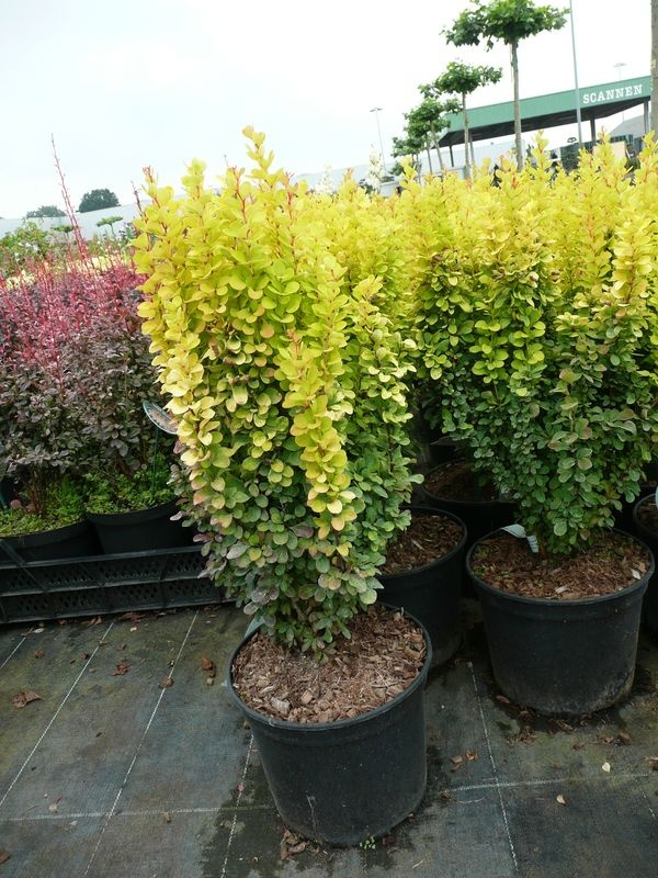 Berberis thunbergii 'Golden Rocket' / Hecken-Berberitze 'Golden Rocket