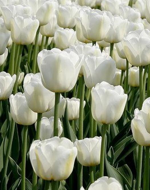 Tulip 'Antarctica'
