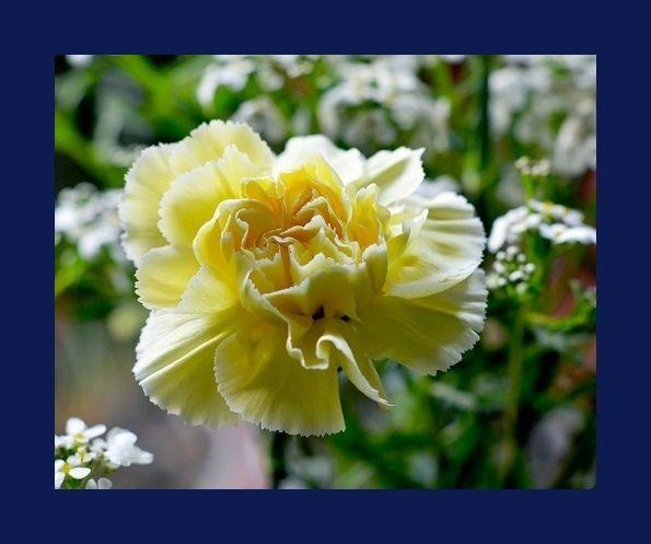 Zenfidan +-50 Adet Sarı Karanfil Çiçeği Tohumu Paketli, Plantistanbul - fidan satışı, fidan siparişi, Meyve Fidanı ve Süs Bitkileri, elma, armut, erik, kiraz, vişne, şeftali, böğürtlen, asma, üzüm