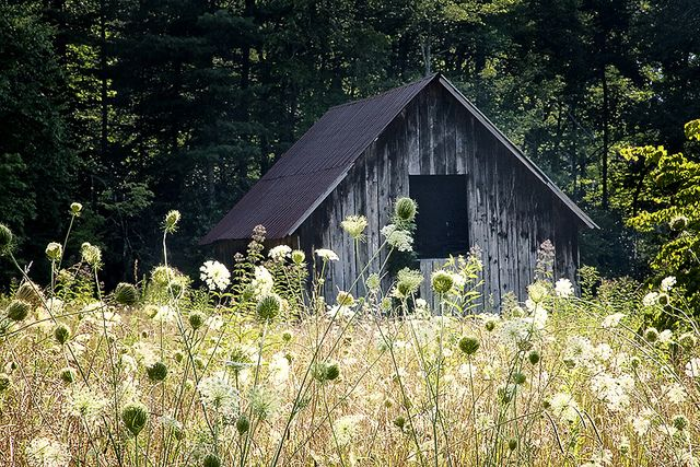 Barn with Queen Anne's Lace Ontario