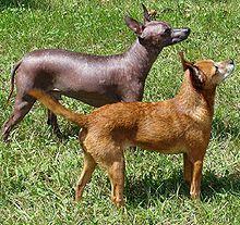 The Xoloitzcuintle (/zoʊloʊ.iːtsˈkwiːntli/ zoh-loh-eets-kweent-lee), or Xolo for…
