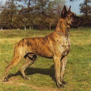 Deutsche Dogge Gestromt Dogue Alemao Caes Alemao