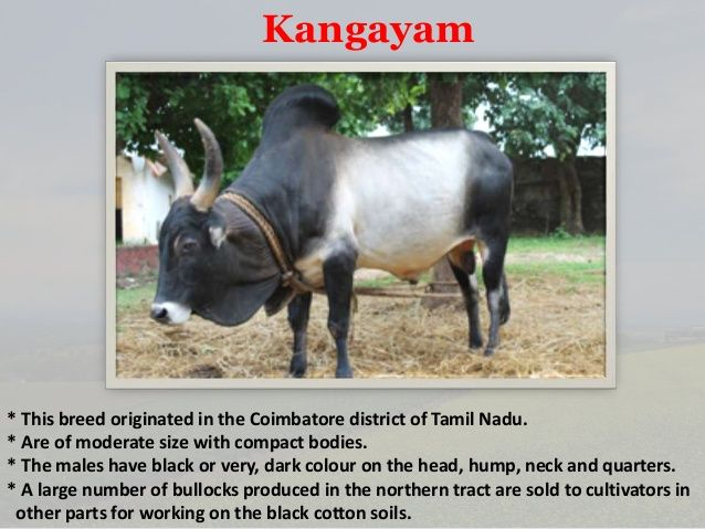 Cow Breeds Of India Cow Breeds Breeds Of Cows