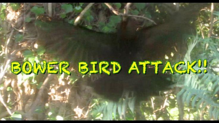 BOWER BIRD ATTACKS!!