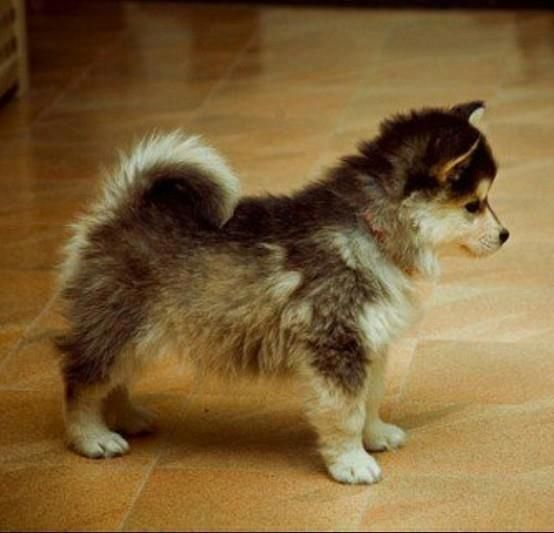 """This is a """"pomsky""""--a full grown Pomeranian and a husky mix. Omg,  I want one!!!!"""
