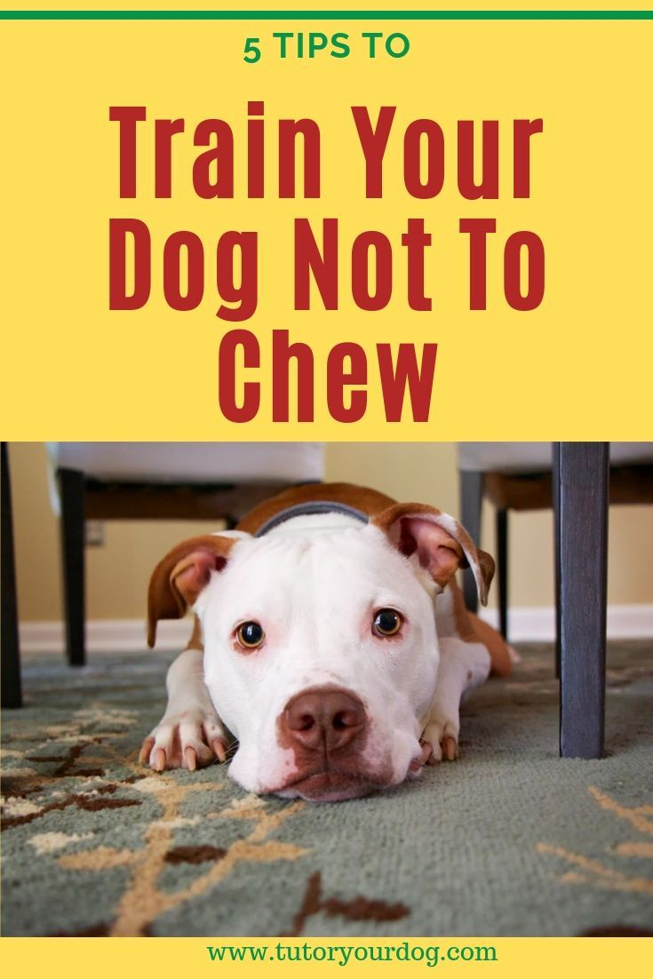 5 Tips For Training Your Dog Not To Chew Training Your Dog Dog