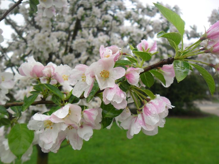 Blossoms, Kalamazoo, Michigan, USA