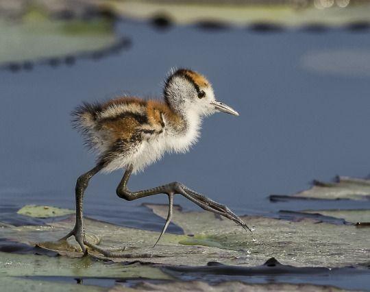 The Beauty of Wildlife: Jacana