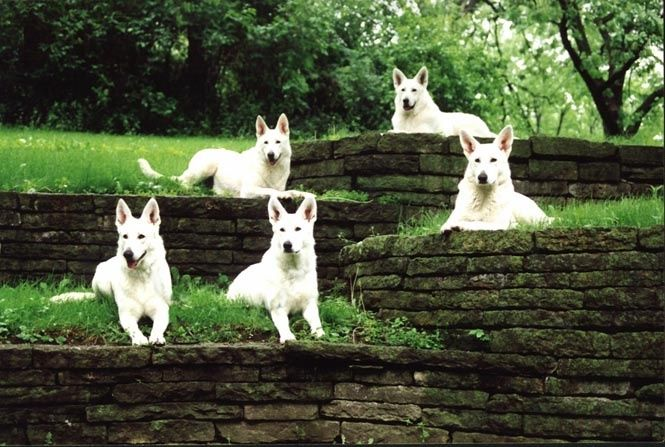 5 white shepherds on a pristine lawn...Hauntingly Beautiful #dogs #germanshepherds