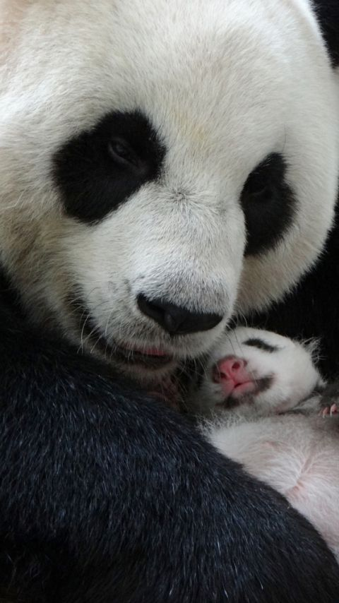 ❤ Here are mom Yaun Yaun & baby Yaun Zai