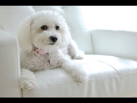 Maltipoo: Separation Anxiety - YouTube